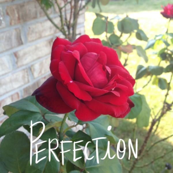 Everyday Beauty_rose